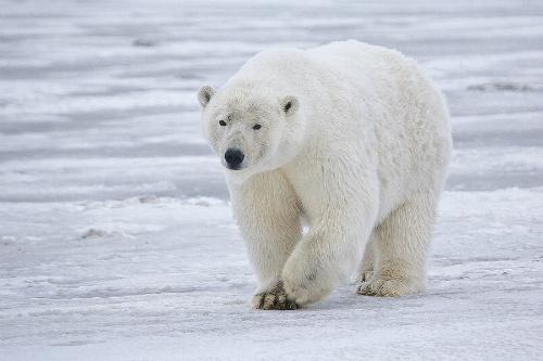 Churchill, autoproclamée capitale mondiale de l'ours polaire
