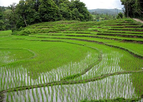 Riziere de Chang Mai