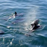 dolphins-2160498_960_720